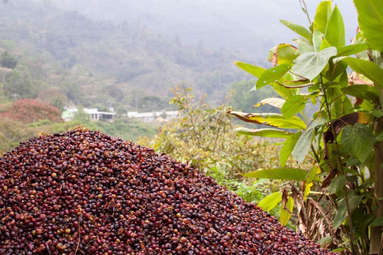 Каскара - кожура кофейной ягоды и напиток из неё